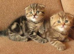 Кормление вислоухих шотландских котят