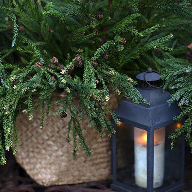 Криптомерия японская, Японский кедр, Cryptomeria japonica