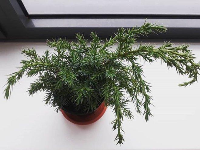 Можжевельник, Juniperus chiensis