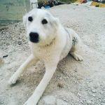 Обладателям собак Алабай Чем